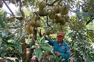 Đắk Lắk: Doanh thu từ cây ăn quả lên tới hàng nghìn tỷ đồng