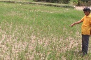 Nghệ An: Hàng nghìn ha lúa khô hạn, tỉnh yêu cầu thủy điện xả nước