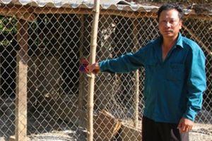 Quảng Bình: Tiêu hủy đàn lợn rừng lai bị dịch tả lợn châu Phi