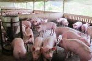 Hà Nội: Tiêu hủy hơn 400 nghìn con lợn mắc bệnh dịch tả lợn châu Phi