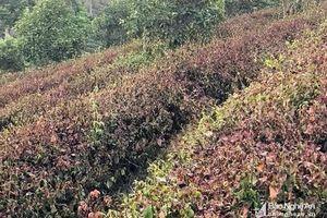 Trên 800 ha chè ở Nghệ An bị cháy sém do nắng nóng