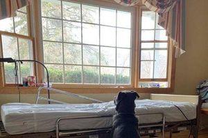 Rơi nước mắt hình ảnh chó Moose kiên nhẫn ngồi bên giường bệnh chờ người chủ quá cố