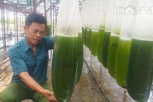 Thái Bình: Nuôi thứ nước xanh lè mà 'rót' ra trăm triệu