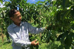 Sơn La: Cựu cán bộ nghỉ hưu về trồng chanh leo lãi hàng trăm triệu đồng