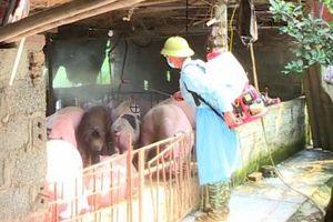 Kiểm soát bệnh dịch tả lợn châu Phi tại từng hộ chăn nuôi