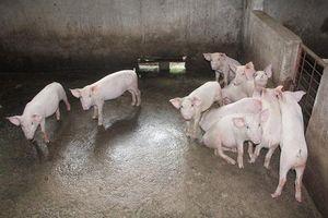 Hà Tĩnh: Địa phương xuất hiện ổ dịch tả lợn châu Phi đầu tiên công bố hết dịch