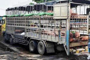 Xử phạt tài xế xe chở lợn nhiễm dịch tả châu Phi đi bán