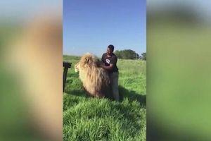 Rùng mình cảnh người đàn ông vô tư gãi lưng sư tử khổng lồ