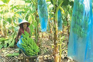 Bình Thuận: Chán tiêu trồng chuối từ cây bé tin hin, lãi lớn vì bán trái sang Tây