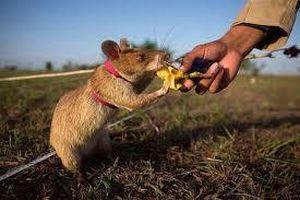 Chuột được huấn luyện để tháo gỡ bom, mìn ở Campuchia