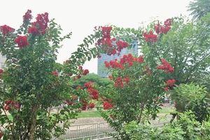 Chiêm ngưỡng vẻ kiêu sa của loài hoa dễ 'gây thương nhớ' ở Hà Nội