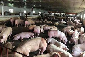 Dịch tả lợn châu Phi tấn công trang trại quy mô 'khủng' 20.000 con