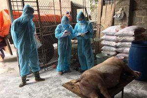 Hà Nội tiêu hủy xấp xỉ 30% tổng đàn lợn vì dịch tả châu Phi