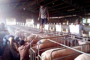 Xuất hiện dịch tả lợn châu Phi tại Lâm Đồng