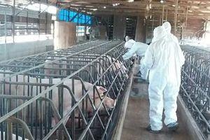 Lâm Đồng xuất hiện ổ dịch tả lợn châu Phi