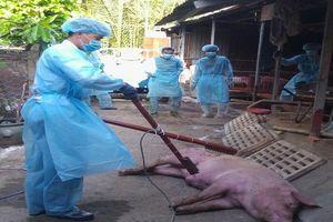 Long An phát hiện 3 ổ dịch tả lợn châu Phi tại huyện Bến Lức
