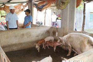 Hỗ trợ khách vay vốn bị thiệt hại bởi dịch tả lợn châu Phi
