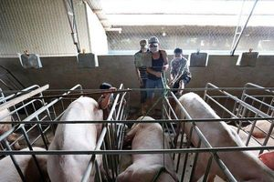 Báo động: 60/63 tỉnh thành công bố dịch tả lợn châu Phi