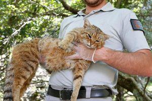 Phát hiện sinh vật bí ẩn 'nửa cáo nửa mèo'