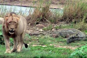 CLIP: Cá sấu khổng lồ trèo lên bờ đòi cướp mồi của sư tử đực