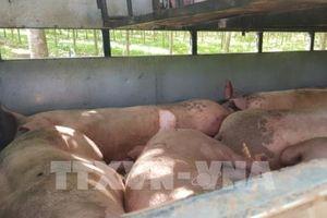 Bắt giữ xe chở hơn 2 tấn lợn từ vùng dịch đi tiêu thụ