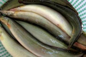 Món ăn thuốc từ cá chạch chữa đái tháo đường, trị liệt dương