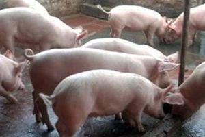 Hà Nội hỗ trợ gần 100 tỷ đồng cho người chăn nuôi lợn ở Thường Tín