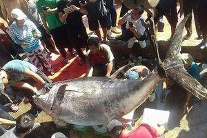 Con cá ngừ Nhật giá 70 tỉ, cá ngừ Việt chỉ 37 triệu: Vì sao?