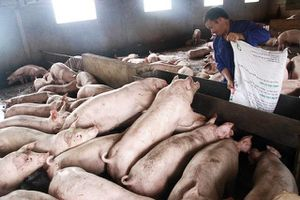 Doanh nghiệp, trang trại chăn nuôi lao đao vì dịch tả lợn