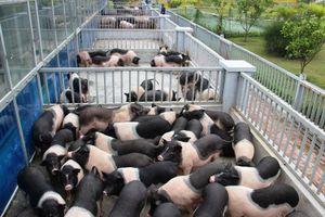 Doanh nghiệp xây 'công viên' nuôi lợn làm thức ăn sạch cho CNLĐ