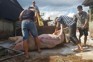 Lần đầu tiên Lâm Đồng tiêu hủy lợn bị dịch tả bằng phương pháp đốt