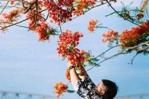 Bố trí người bảo vệ cây phượng nổi tiếng nhất xứ Huế