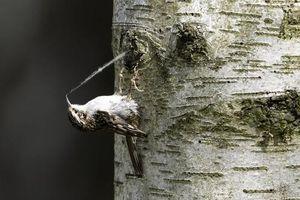 'Bắt quả tang' chim nhỏ lén lút ăn cắp tơ nhện làm tổ