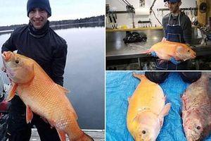 Bắt được cá vàng 'thành tinh' gần 100 tuổi, dài cả mét