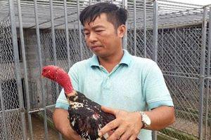 Lai Châu: Bỏ việc Nhà nước về quê chỉ vì đam mê nuôi loài gà ham 'đánh võ'
