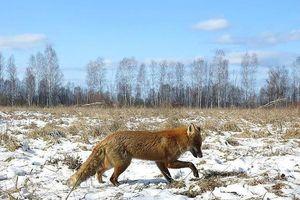 Vì sao hệ sinh thái ở vùng nhiễm phóng xạ Chernobyl phát triển tốt?