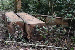 Xử nghiêm vụ khai thác gỗ trái phép trong Khu bảo tồn Nam Nung