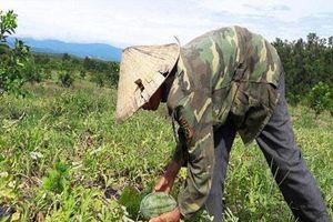 Hà Tĩnh: Trồng dưa hấu dưới tán bưởi, sau 3 tháng lời cả trăm triệu