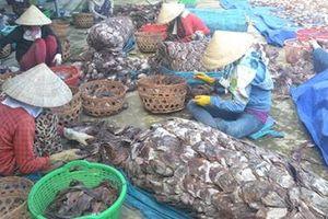 Quảng Nam: Gần 1.000 tấn mực khô bị dồn ứ, không tiêu thụ được