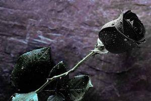 Bí ẩn nơi tồn tại hoa hồng đen huyền bí