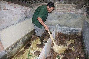 Sơn La: Nuôi loài chuột lông mượt như nhung, ăn tre mía, bán 400 ngàn/kg