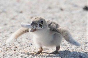 Chim mẹ mớm cho con ăn đầu lọc thuốc lá: Thiên nhiên đang bị 'đầu độc' tới mức đáng sợ