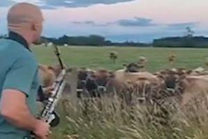 Nhạc sĩ thổi kèn thu hút cả đàn bò kéo đến
