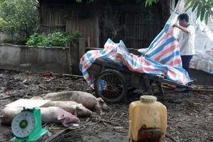 Sóc Trăng tiêu hủy hơn 219 tấn lợn nhiễm bệnh dịch tả lợn châu Phi