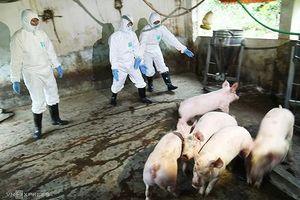 Việt Nam sản xuất thử nghiệm vắcxin phòng dịch tả lợn châu Phi