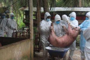 Bến Tre: Tiêu hủy khẩn cấp đàn lợn bị dịch tả Châu Phi