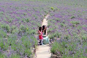 Mê ly cánh đồng hoa oải hương ở Hàn Quốc