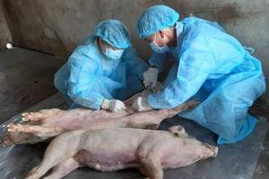 Học Viện Nông nghiệp 'bác' thông tin sản xuất thành công vắcxin phòng dịch tả lợn châu Phi