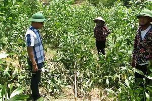 Xác định nghi can chặt hơn 3.100 cây keo của dân