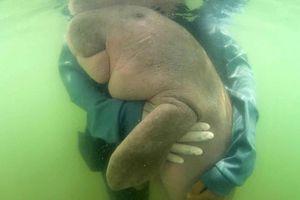 Người Thái Lan đang 'phát cuồng' vì một con bò biển lạc mẹ